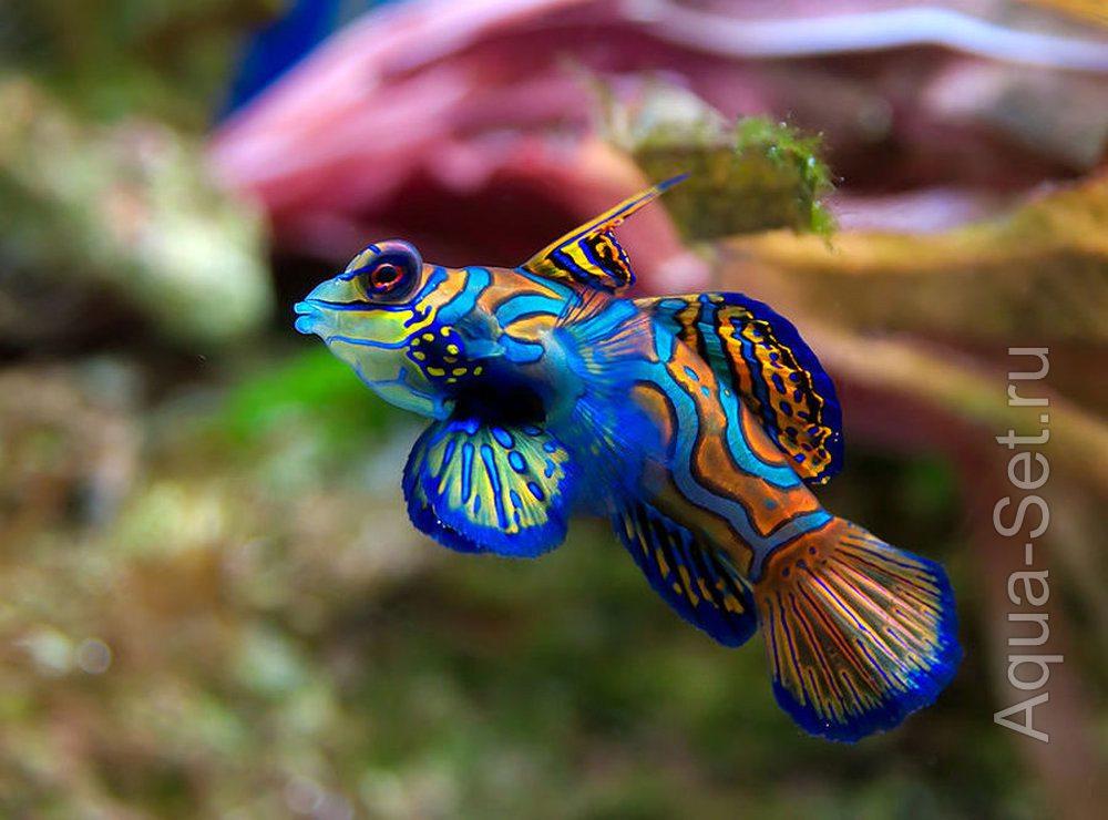 Рыбка мандаринка - Synchiropus splendidus
